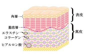 肌の断面図解説.jpg