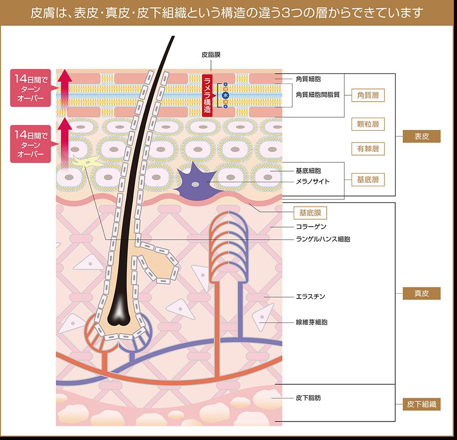 お肌のラメラ構造 エステサロンピュア奈良